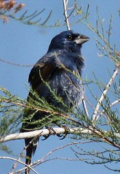 Blue Grosbeak Fig Lagoon