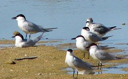 Gull-billed Terns on Salton Sea shoreline