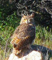 Great Horned Owl on a rock