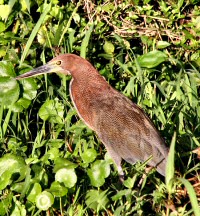 ruffescent tiger-heron