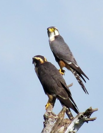 Aplomado Falcons