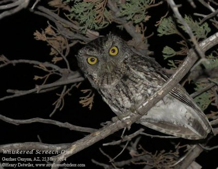 Whiskered Screech-Owl