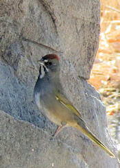 Green-tailed Towhee