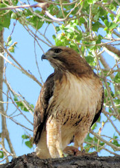 Red-tailed Hawk with ground squirrel