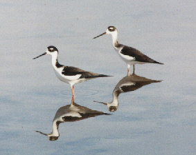 Photo of black-necked stilts at Red Hill Marina